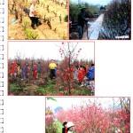Làng nghề trồng hoa đào truyền thống xã Nam Mỹ